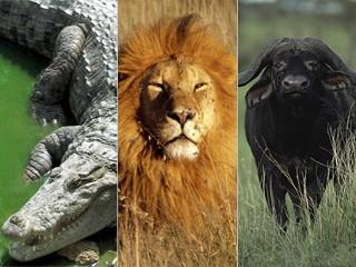 Viral Science: Lion Vs Cape Buffalo Vs Crocodile   B Good ...
