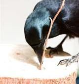 Viral Science: New Caledonian Crow – Not So Bird Brained